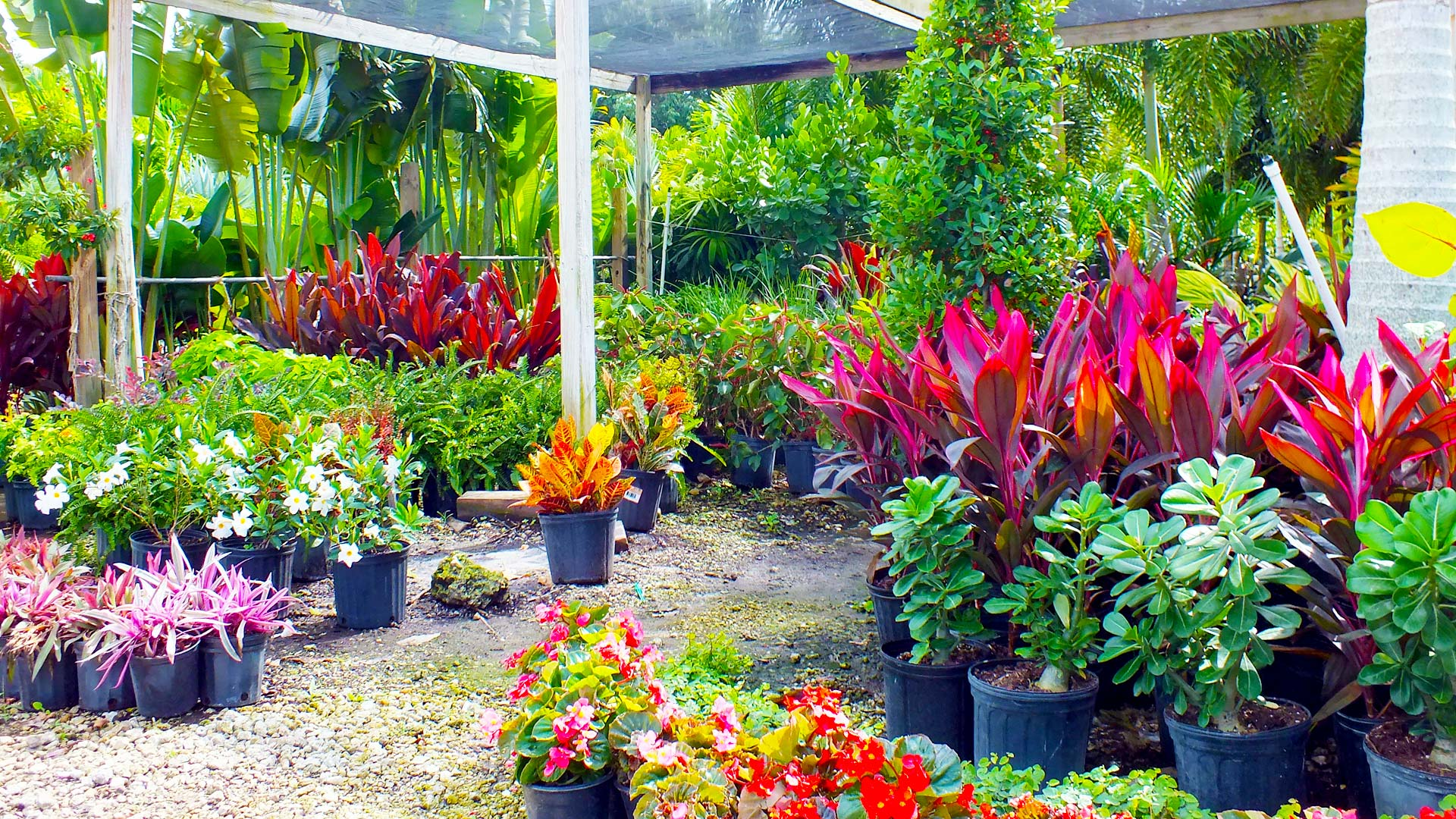 Nursery Palms & Plants