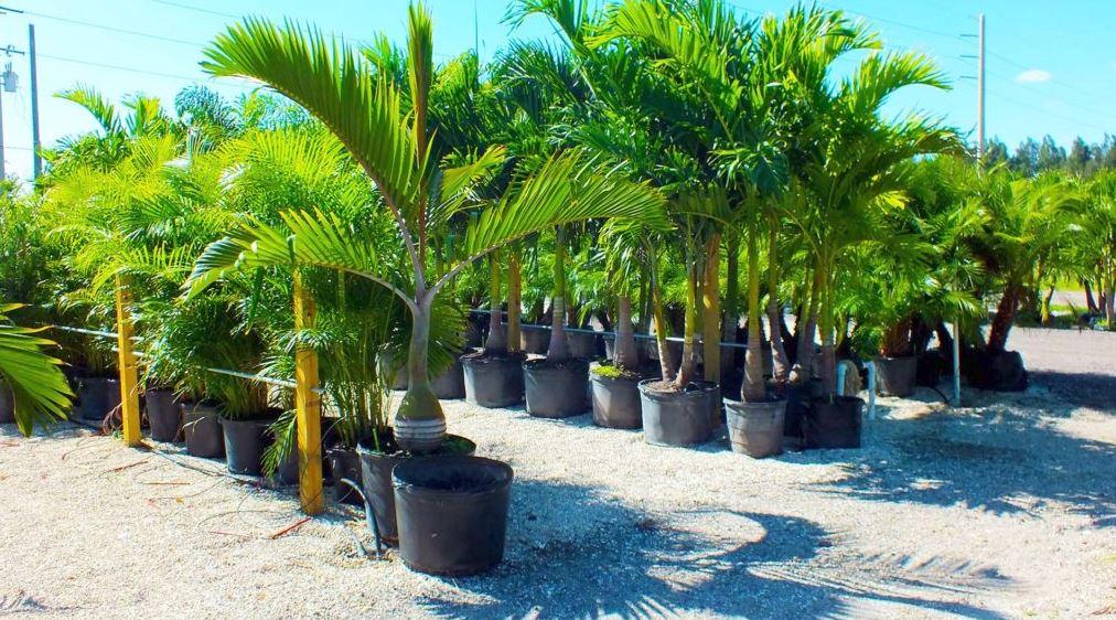 Palm Tree Nursery Lee County