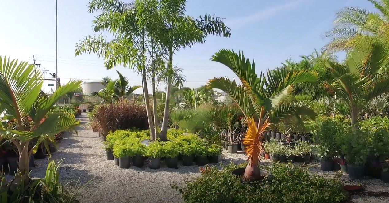 Buy Palm Trees Near Me