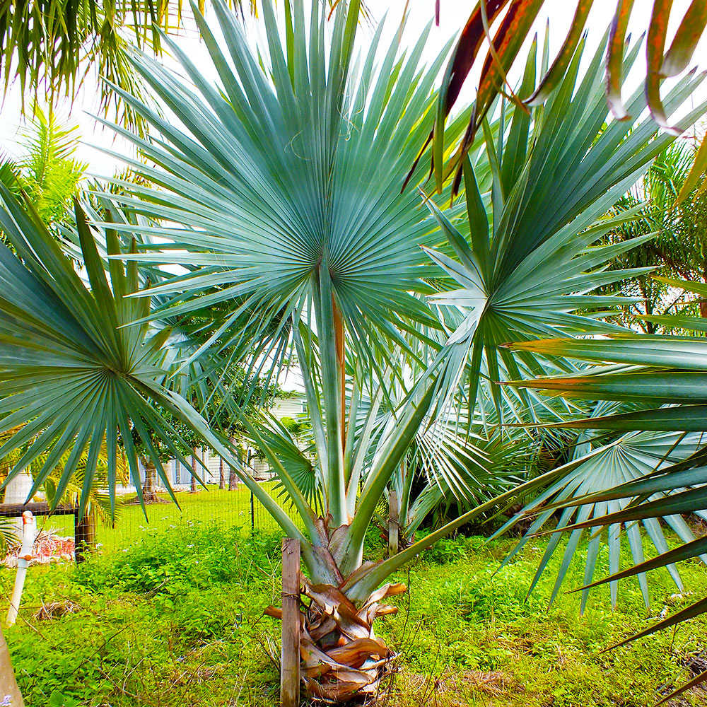 Palm Trees For Sale Punta Gorda