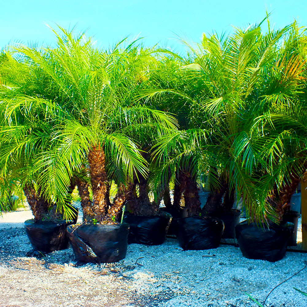 Where To Buy Palm Trees
