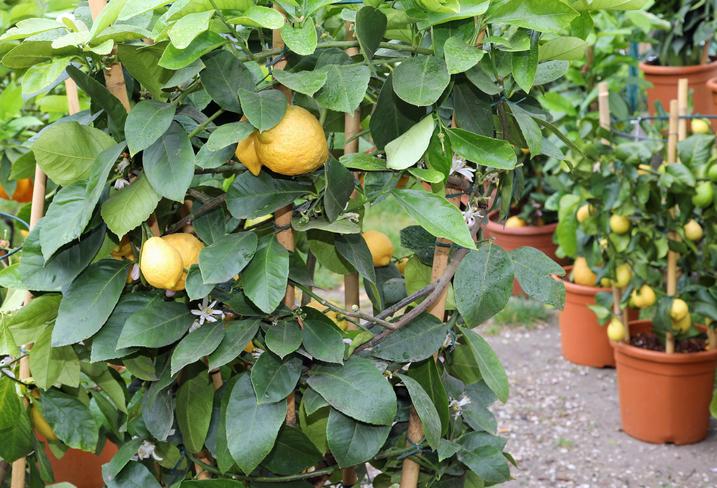 Buy Fruit Trees Near Me
