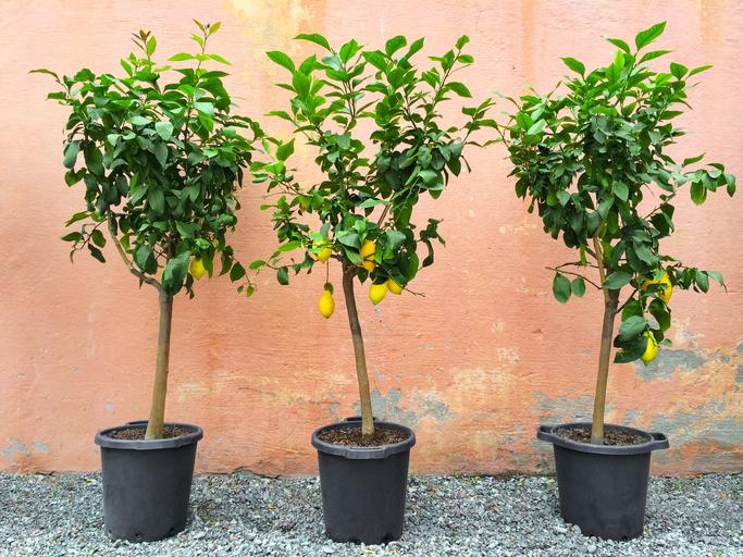 Buy Fruit Trees Punta Gorda