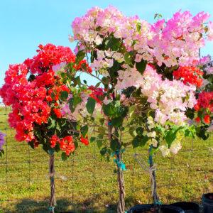 Buy Flowering Plants in Punta Gorda, Florida