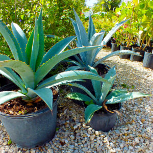 Buy Shrubs in Pine Island, Florida