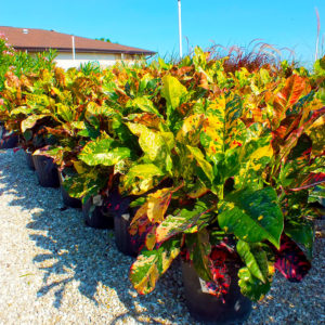 Buy Shrubs in Punta Gorda, Florida