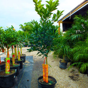 Tree Nursery in Cape Coral, Florida