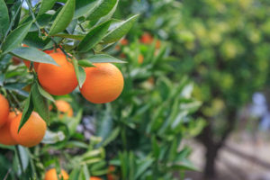 Citrus Trees for Sale Pine Island
