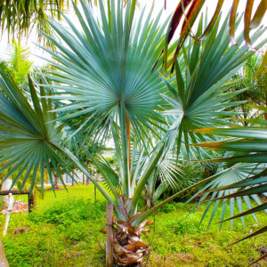 Palm Trees for Sale Fort Myers