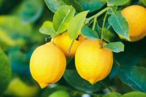 Buy Lemon Trees Punta Gorda
