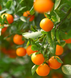 Best Time to Buy Citrus Trees