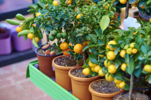 Citrus Trees for Sale Fort Myers