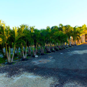 Adonidia (Christmas) Palms