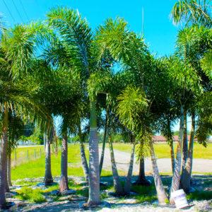 Foxtail Palms