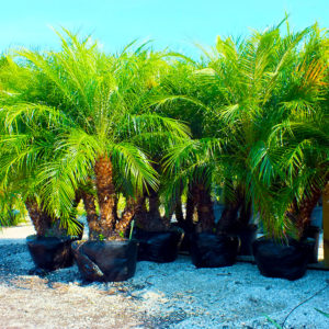Pygmy Date Palms (Phoenix Robelenii)