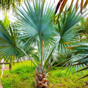 Silver Bismarckia / Fan Palms