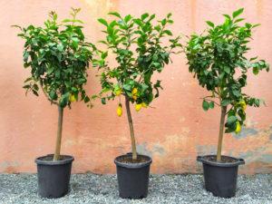 Buy Lemon Trees Florida