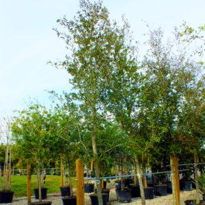 Buy Shade Trees Punta Gorda