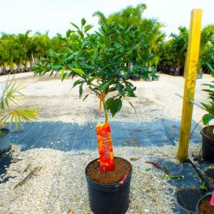 Buy Tangerine Trees Punta Gorda